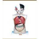 幼儿园配套设施系列人体模型实验室用品客堂讲解模型