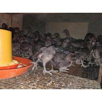 贵州遵义养殖青脚肉绿壳蛋鸡苗鸡舍的搭建,优质鸡苗,可空运发货,价格从优