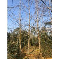 山东16-18公分银杏树大概多少钱?行道树16-18公分银杏价格