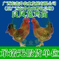 来宾市象州县-土鸡苗养殖-重庆鸡苗-福建鸡苗批发