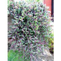 垂吊多肉植物紫玄月吊兰佛珠花卉盆栽办公室绿植防辐射珍珠吊兰