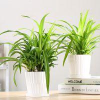 金边青叶金心吊兰盆栽室内净化空气桌面植物绿植园艺新房除甲醛