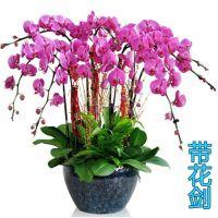 蝴蝶兰花卉盆栽带花苞室内大苗带花剑客厅观花植物特级绿植四季花