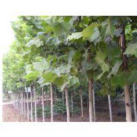 法桐树出售-法桐的供应商(在线咨询)-法桐树
