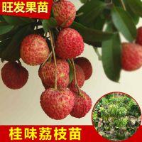 供应桂味荔枝苗 白糖罂荔枝苗 价格优惠品种正宗优质