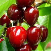 批发樱桃实生苗价格 种植樱桃实生苗基地