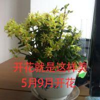 石斛苗霍山正宗铁皮石斛苗盆栽野生绿植室内办公桌阳台盆景兰花