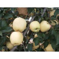 供应优质黄金苹果树苗,保真,可签合同