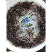 广州联丰水产供应优质的台湾泥鳅苗