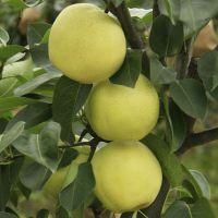 正一园艺场三年梨树苗 全红梨树苗价格 5公分梨树苗 5公分秋月梨树苗批发价格
