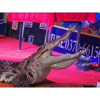 元旦鳄鱼表演马戏团演出大型动物狂欢