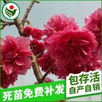 批发生产 园林植物花卉牡丹樱花 花卉景观植物