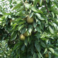 正一园艺场三年梨树苗 梨树苗哪里有卖 两年全红梨树苗 两年梨树苗哪里有卖
