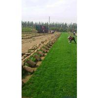 石家庄早熟禾草坪|草皮图片|平阴草坪