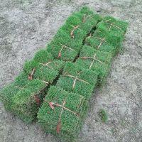 马尼拉草坪 湖南益阳耐荫耐践踏易管理的草种出售价格 基地销售