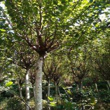 樱花工程苗 日本樱花 日本晚樱 园林工程绿化苗木基地直供 2公分樱花价格3元起陕西汉中货源