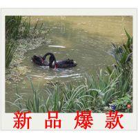 贵州哪里有黑天鹅出售卖 黑天鹅苗多少钱一对