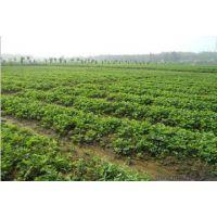 供应基地内咖啡草莓苗 多少钱一棵