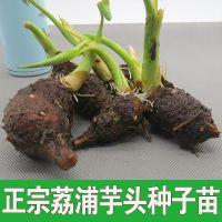 正宗广西新鲜荔浦芋头种子苗香芋种苗槟榔芋毛芋紫藤芋批发代办代购