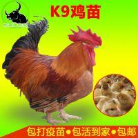广西三黄鸡苗批发多少钱一只 九斤快大三黄k9鸡苗价格行情鸡养殖技术指导视频统货