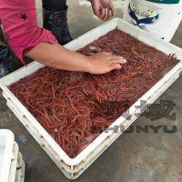 湛江顺域水产国内沙蚕养殖基地 活沙蚕 海蜈蚣虾母饲料 红青虫 钓鱼虫