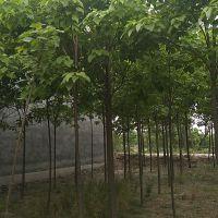 成都基地直销 楸树 货源足 喜光耐寒 楸树批发 量大优惠