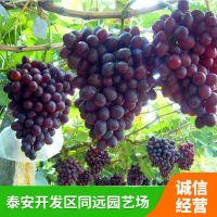 哪里有葡萄苗 哪里可以买到葡萄苗 欢迎选购