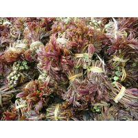 大棚香椿批发 红油香椿苗基地 红油香椿种子价格