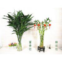 室内花卉盆栽富贵竹水培植物转运竹大叶竹观音竹客厅竹子水养四季