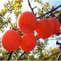 柿子树苗批发价40公分3 元,70公分3.5元,安徽润丰果树苗