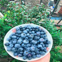 蓝莓种苗哪里有 蓝莓苗批发价格 产地直供 现挖现卖