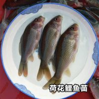 什么是荷花鲤鱼鲜活水产特种鱼供应