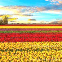 种球 郁金香 批发高发芽率郁金香种球盆栽 观赏植物量大包邮