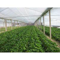 脱毒草莓苗,甜查理草莓苗批发价格