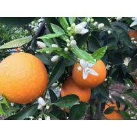 湖南柑橘苗脐橙苗柚子苗 柑橘新优品种 优质无病毒柑橘苗 伦晚脐橙