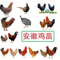 安徽贵妃鸡养殖技术,贵妃鸡养殖场