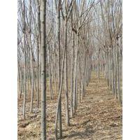 江苏栾树基地6,7,8公分栾树有大量现货供应