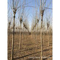 白蜡基地直销 园林绿化植物 抗冻耐寒 落叶乔木树种 批发价格
