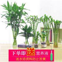 水培富贵竹文昌竹花卉室内盆栽净化空气开运竹好养竹子水里植物