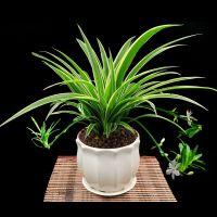 金边吊兰盆栽植物开花垂吊室内客厅办公室四季常青净化空气吸甲醛