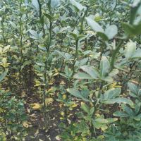 出售优质枳壳苗 根系发达 成活率高 江西枳壳苗价格 现挖现卖