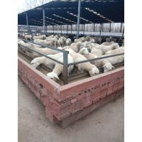哪里有小尾寒羊波尔山羊奶羊养殖场山东肉牛养殖业 免费运输