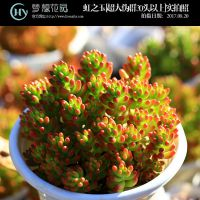 虹之玉多肉植物超大伪群30头以上 云南梦想花园肉肉绿植盆栽花卉