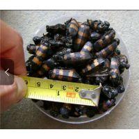 斑蝥虫哪里有卖的@临川斑蝥虫斑蝥虫哪里有卖的@一般多少钱一只