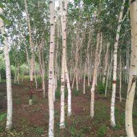 辽宁苗圃直销园林绿化观赏形 白桦树 耐寒落叶乔木