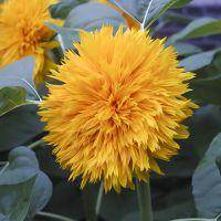 观赏向日葵种子矮杆高杆单头多头迷你玩具熊绒绒熊向日葵花卉种子