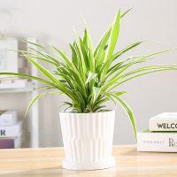金边青叶金心吊兰植物净化空气室内桌面盆栽绿植园艺新房除甲醛