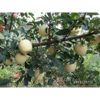 维纳斯黄金苹果苗怎么卖 苹果苗产地 批发价格