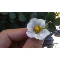 刚移栽的草莓新叶叶脉发黑,是什么原因?