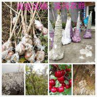 贵州毕节总溪河玛瑙红樱桃树苗批发零售